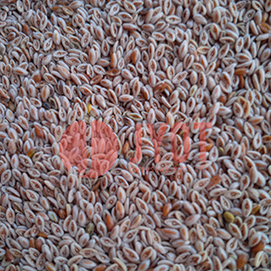 psyllium-seed-new