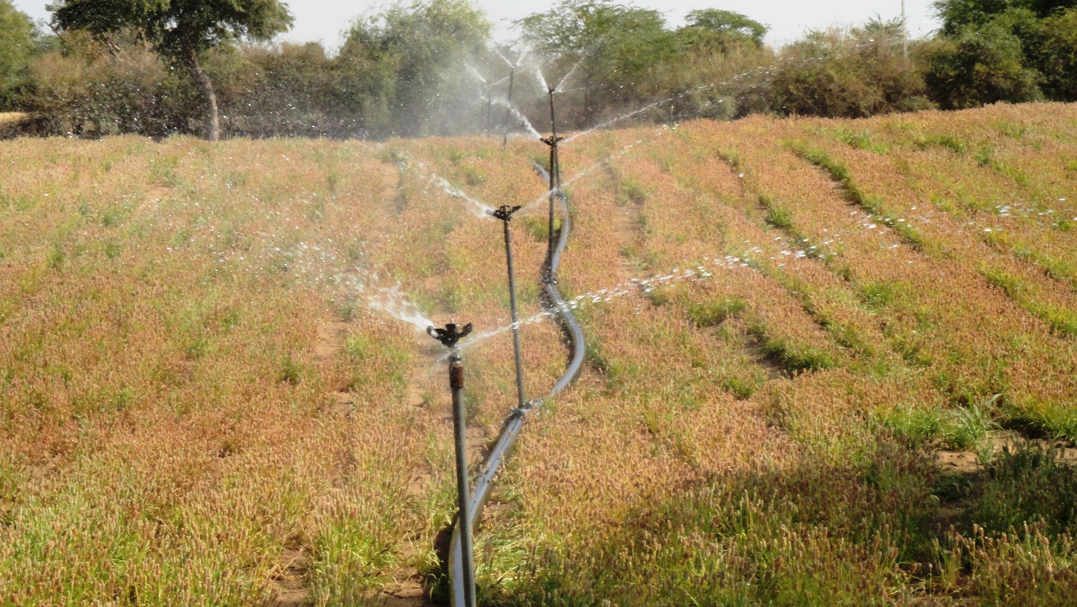 Irrigation of Psyllium